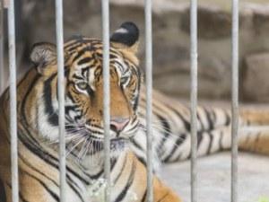 Тигрица рани посетител в зоологическа градина! Искал да открадне бебето й