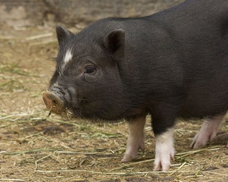 БАБХ потвърди второ огнище на Африканска чума при домашните свине