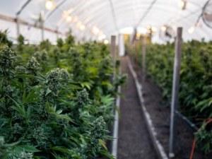 Най-много марихуана в Гърция се отглежда на остров Крит