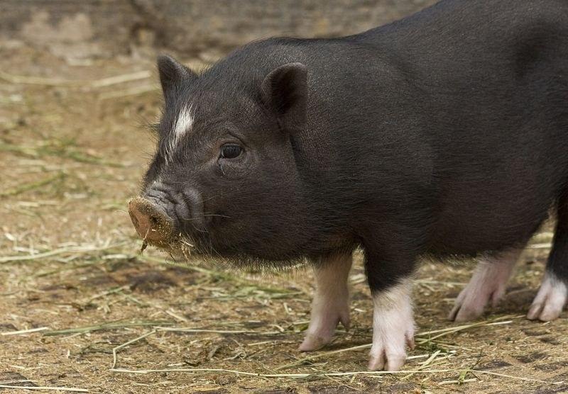 Зараза! Чумата покоси още свине, регистрираха нови 6 огнища