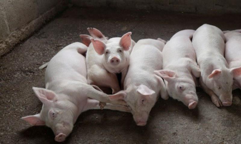 Умъртвявт прасетата в новите огнища на африканска чума у нас