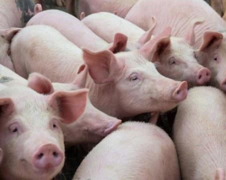 Избиват прасета с чума край Созопол, връщат карантината в Плевенско