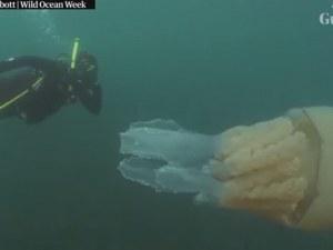 Фотографи заснеха огромна медуза с размерите на човек