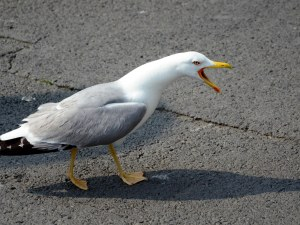 Столичани и пловдивчани все по-често се будят от гларуси, защо птиците изоставиха морето?