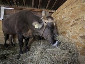 Кравата Пенка роди, кръстиха телето на британски евродепутат