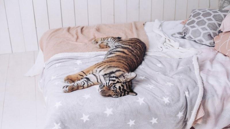 Тигрица нахлу в къщата на мъж и заспа в леглото му