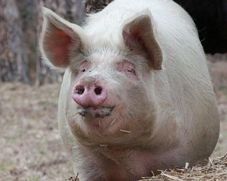 """Търсят финансова помощ по """"de minimis"""", за да компенсират стопаните на умъртвени прасета"""