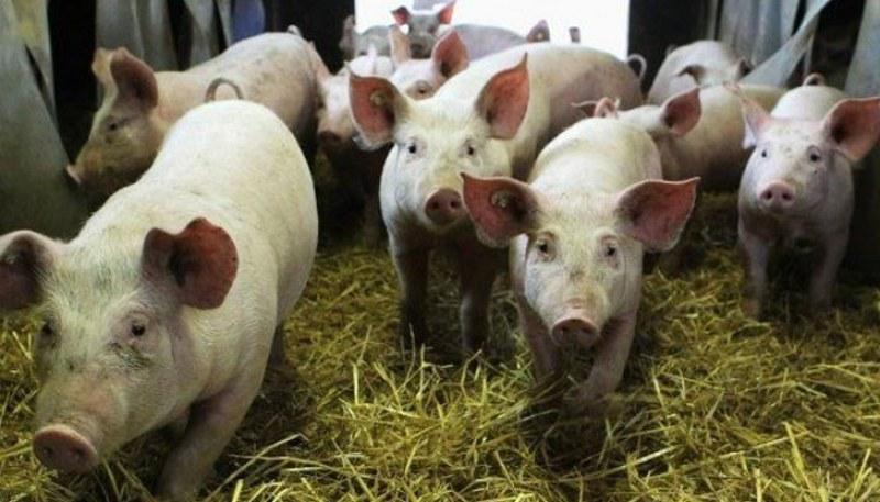 Ново огнище на африканска чума! Умъртвяват над 17 000 свине край Русе