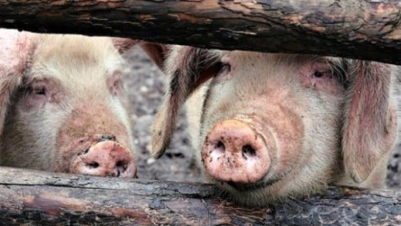 Продължава умъртвяването на 17 000 прасета в Русенско