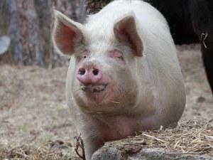 Бедствено положение в Русе заради Африканската чума по свинете