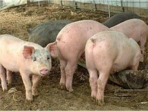 Цената на свинското месо скача заради африканската чума у нас