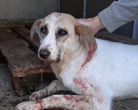 Жестокост в Дупница: Намериха куче от приюта в локва кръв, животното почина от раните си