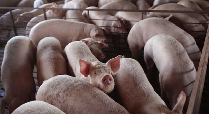 Още един голям свинекомплекс с африканска чума
