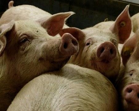 Крайна мярка! Собственици на свинеферма дават 250 лв. за доброволно умъртвяване на прасета