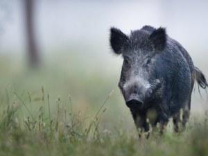 Прасета с чума са открити край Пловдив, започва масово изследване на животните в областта