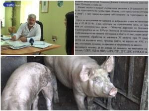 Масово колят прасета край Пловдив! Стопанин: Отнеха ни прехраната за зимата