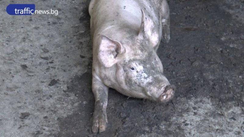 Обявиха бедствено положение в Свищов заради чумата по свинете