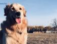 Издирва се! Повече от седмица собствениците на ретривъра Бернард издирват кучето си