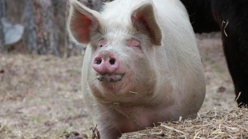 Продължава умъртвяване на прасета в Свищов, търсят помощ от армията за допълнителна техника