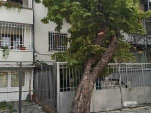 Дърво падна в Пловдив, едва не уби човек