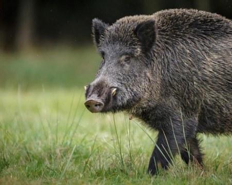 Пробите на две диви прасета край Доспат са били положителни за африканска чума