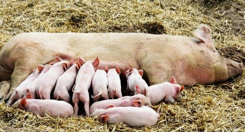 Край на свободните прасета, забраняват да отглеждаш свине майки в двора