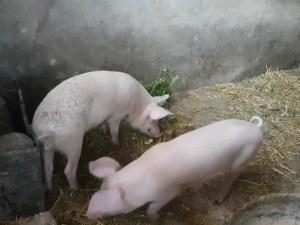Последен ден за доброволно умъртвяване на домашните прасета в Южна България