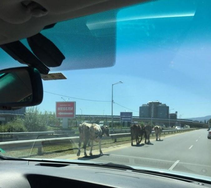 Стадо крави затрудни движението по оживен столичен булевард