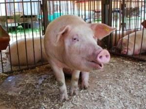 Почти всички домашни прасета в Пловдивско са изклани