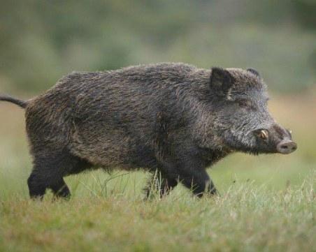 Умъртвяват всички диви свине в ловно стопанство край Девин