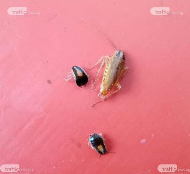 Напаст! Немски и ориенталски хлебарки нападнаха Пловдив