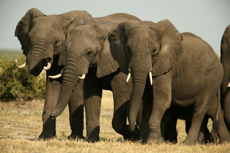 Забраняват трофейния лов на носорози и слонове