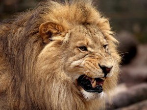 Лъвове убиха стопанина си, властите в ЮАР ги умъртвиха