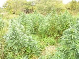 """Арестуваха млад """"земеделец"""" край Пловдив, отглеждал нива с марихуана"""