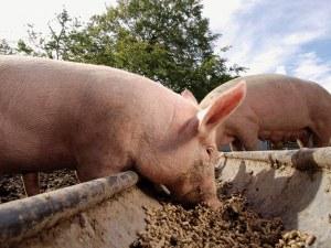 Глоби грозят десетки собственици на прасета в Сливенско