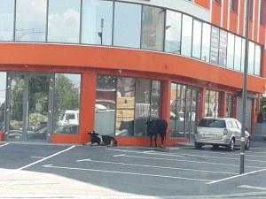 Крави и теле скитат по булевардите в София, стигнаха до летището