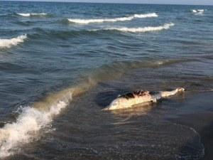Мъртъв делфин изплува на плажа в Шкорпиловци