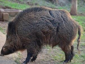 Турски фермер реши да съди диви прасета, нагазили в царевицата му