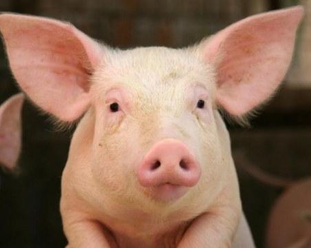 Трябва ли да избият 17 000 здрави прасета? Европа казва