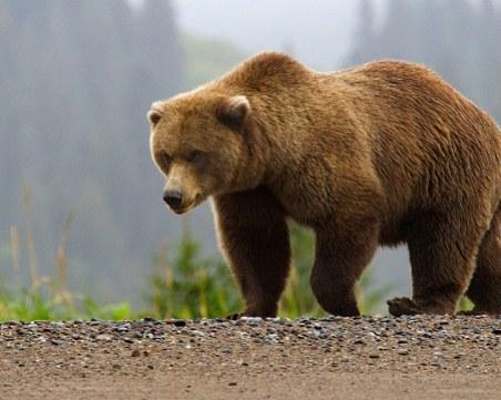 Убиха опасна мечка в Смолянско