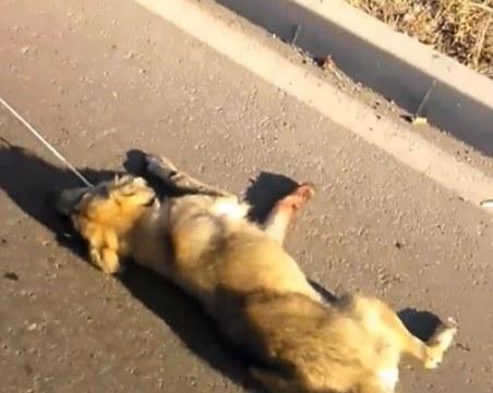 Жестоко! Мъж влачи куче зад колата си