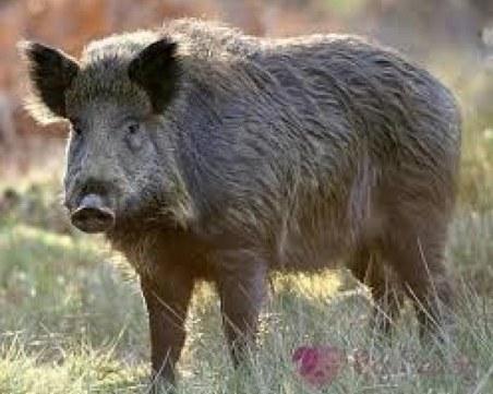 Чумата скара ловците: Искат Борисов да реши да гърмят ли по глигани в заразените зони