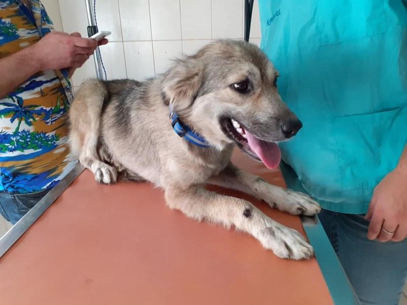 Влаченото куче Буба в стабилно състояние, търсят му нови стопани