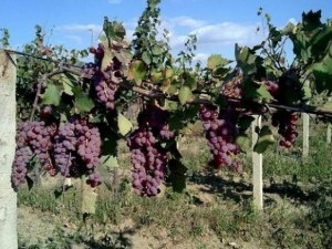 Лозари искат по левче за гроздето, винпромите готови да платят наполовина