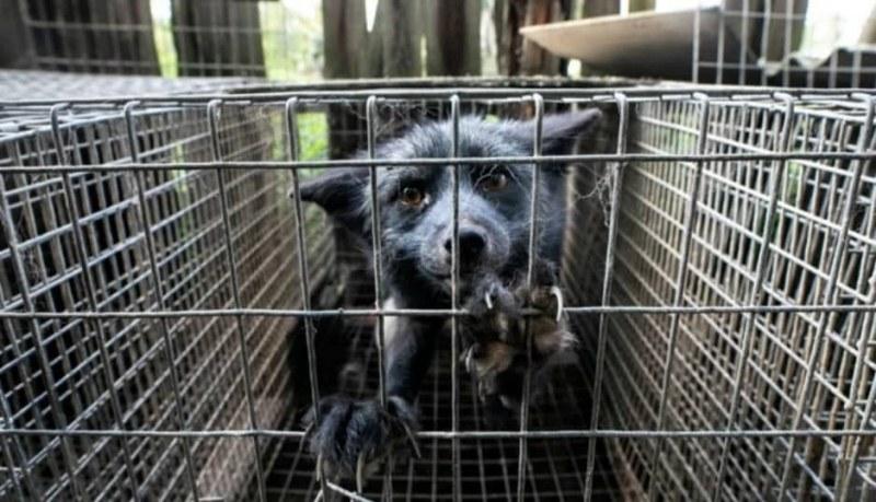 Разлагащи се животински трупове, гладуващи кучета и лисици във ферма за кожи в Полша