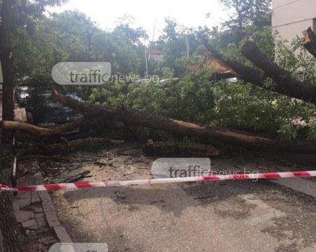 Дърво падна на пешеходна пътека в Кюстендил, жена пострада