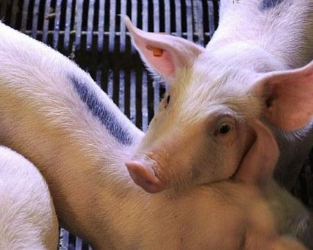 Нов случай на чума по свинете във Видинско