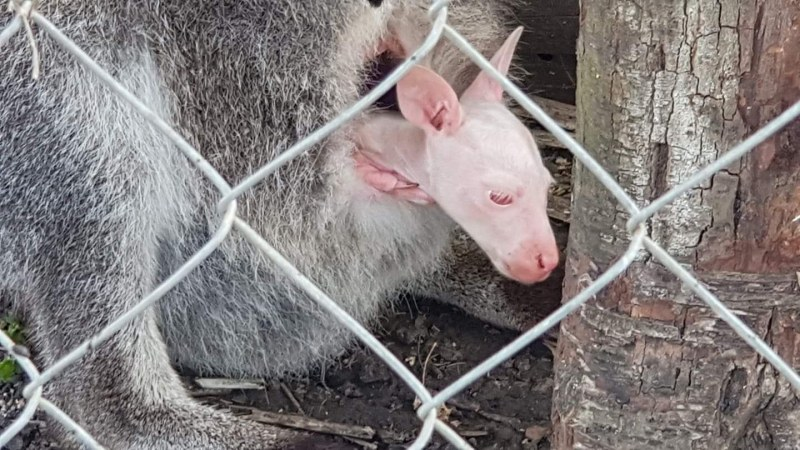 Бебе кенгуру албинос стана талисман на зоопарка в Бургас