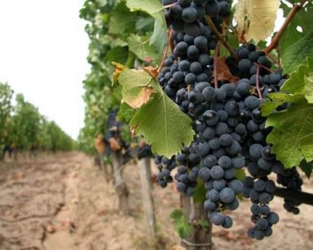 Тонове грозде застояват, производители се оплакват заради ниските цени на реколтата