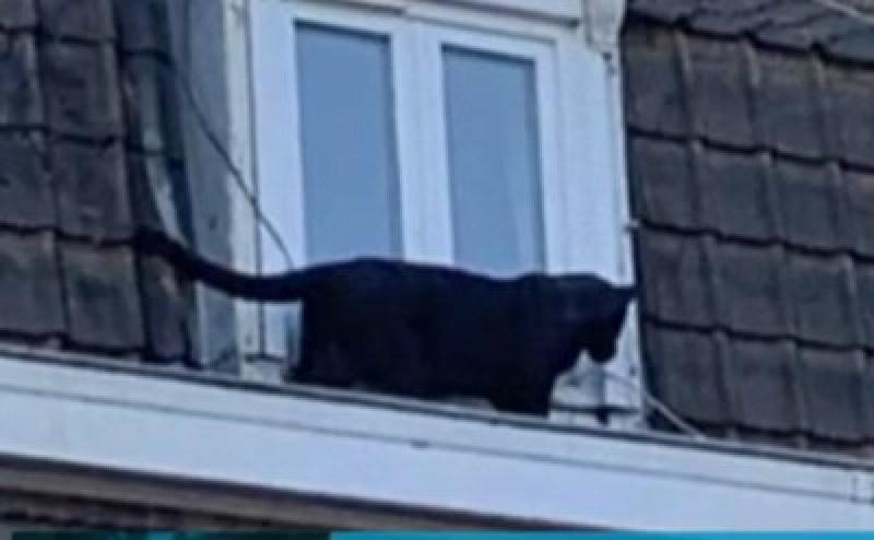 Паника в Лил! Черна пантера се разходи по покривите на сгради